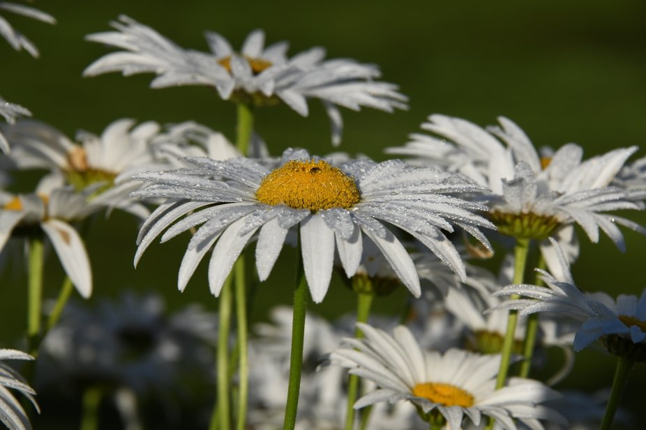 Daisies in the morning dew