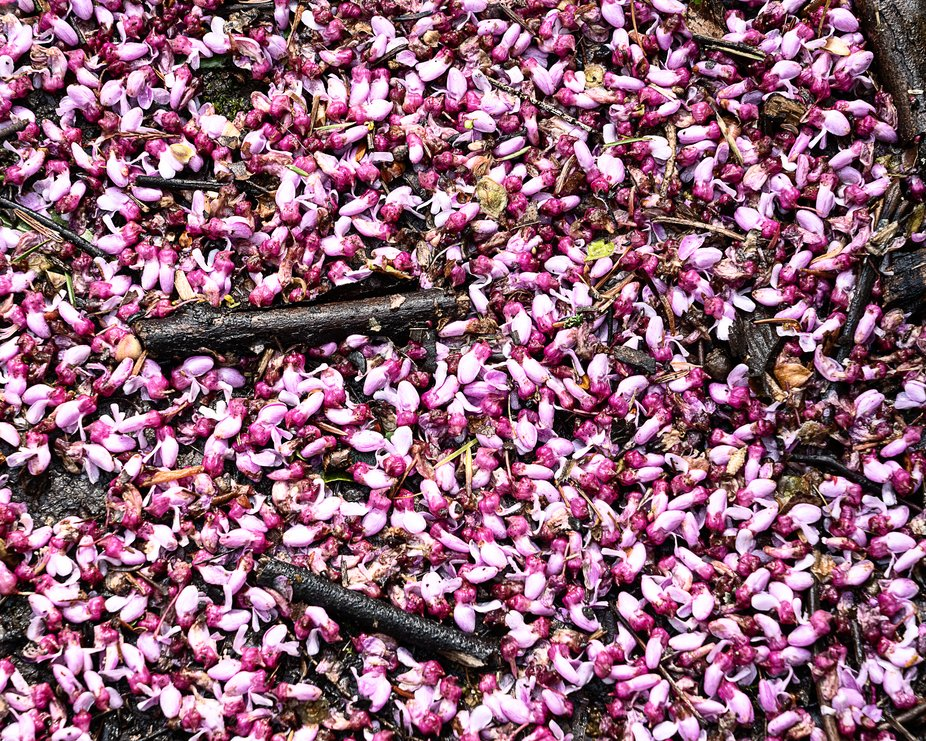 RedBud flowers cover the ground