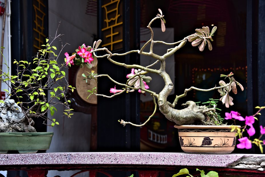 Loved the shape and design of this not so  full  of blossoms bonsai.