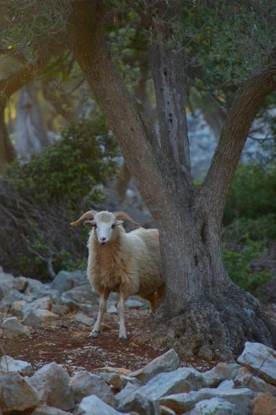 Cres sheep