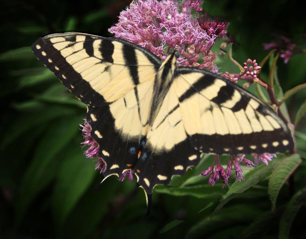 2015 Butterfly Green Meadow
