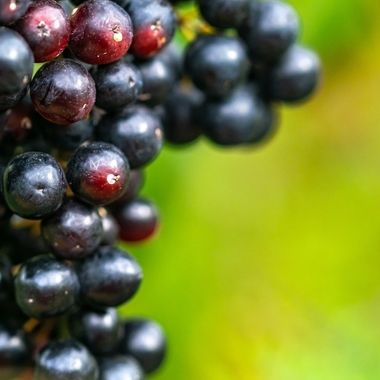 a close up image of a bunch of red grapes finishing the ripening process on the vine
