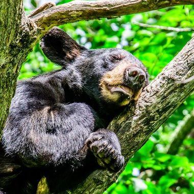 A yearling black bear having a happy nap!