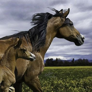 Mare & foal excited by a spring storm with wind and storm clouds.