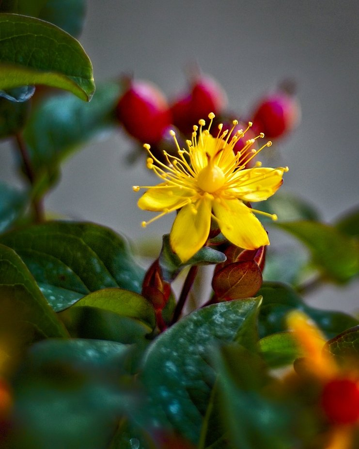 St Johns Wart blossom