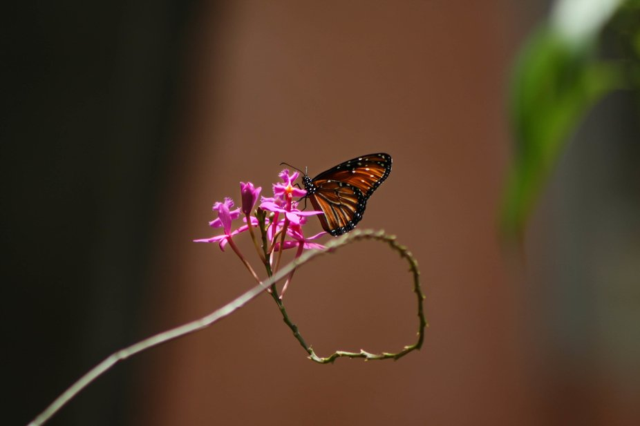 its a butterfly on an orchid