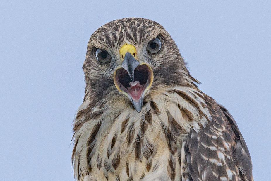 Juvenile red-shouldered hawk screaming