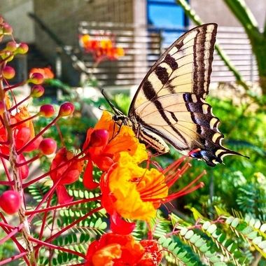 Monarch happiness!