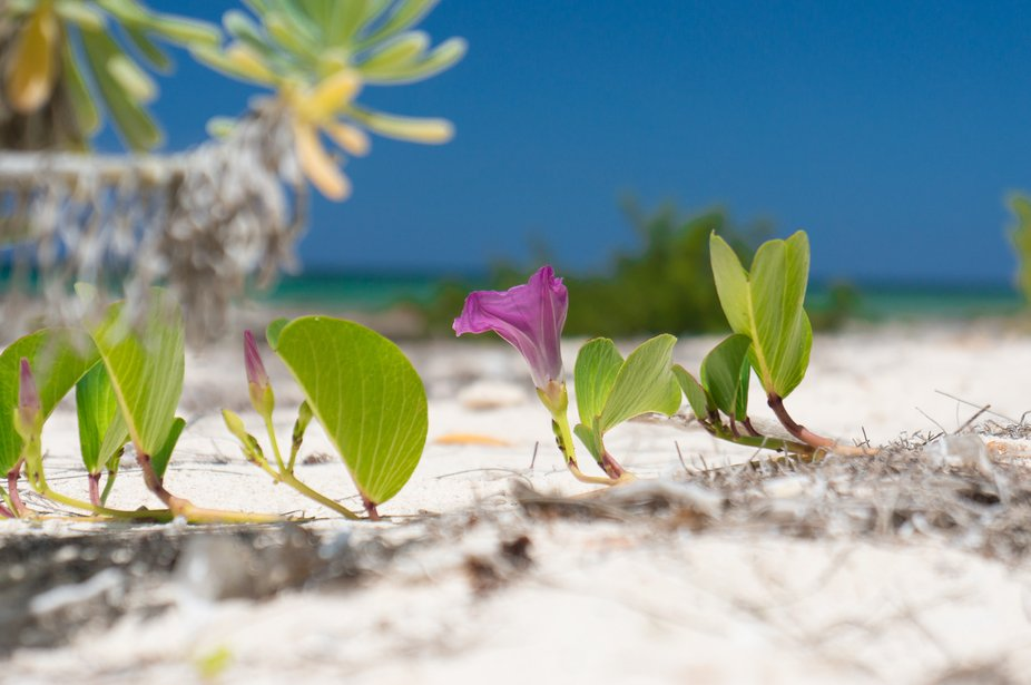 Hibiscus on the sand, Eleuthra Bahamas