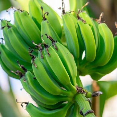 a bunch of green bananas growing from the vine of a tree