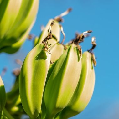 a close up image of a bunch of young green bananas growing on a tree