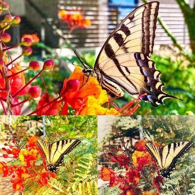 Monarch medley!