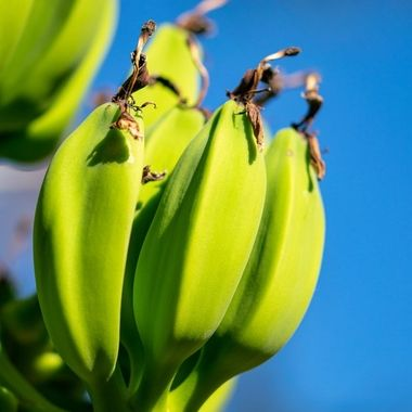 a close up image of  young green bananas growing on a tree