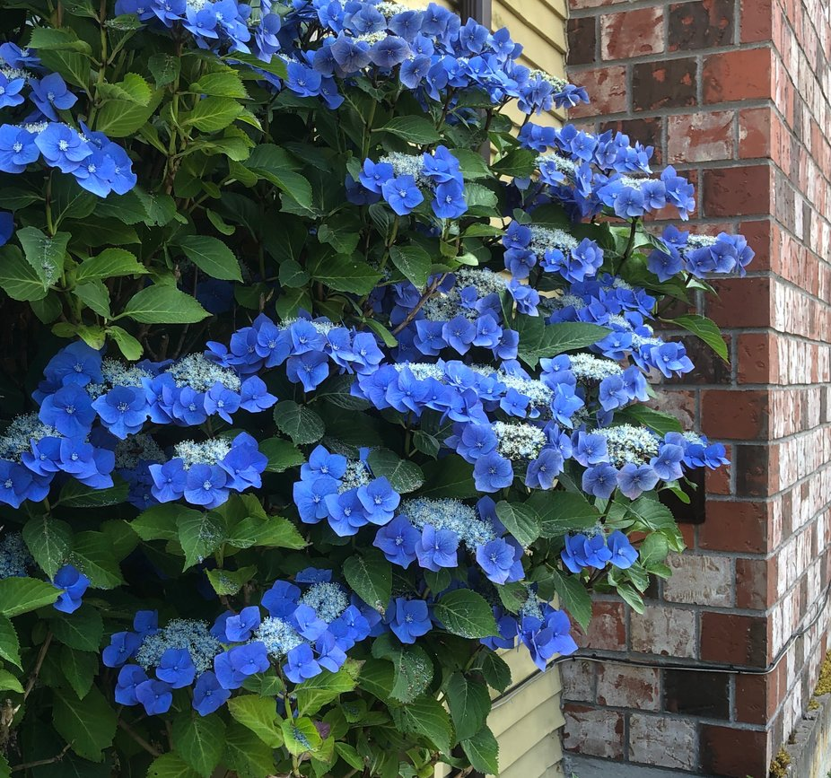 Blue lacecap hygrangea (accented by brick chimney)