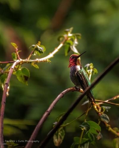 Anna's Hummingbird 2094