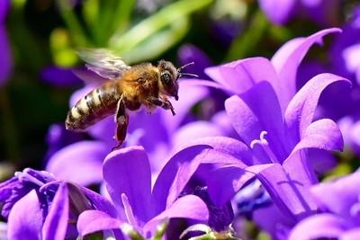 DSC_1654 Bee on Flower 1 London 2020_crrsh
