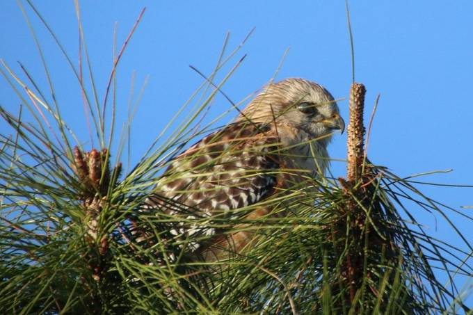 Young Red-shouldered Hawk on Nest