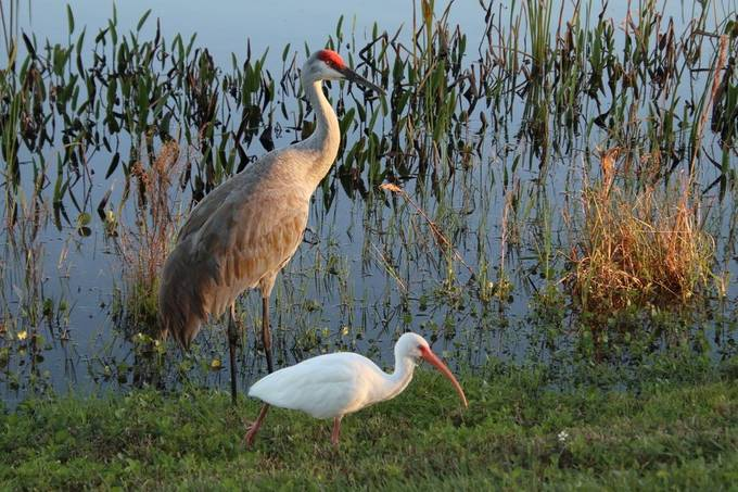 Sandhill Crane and White Ibis