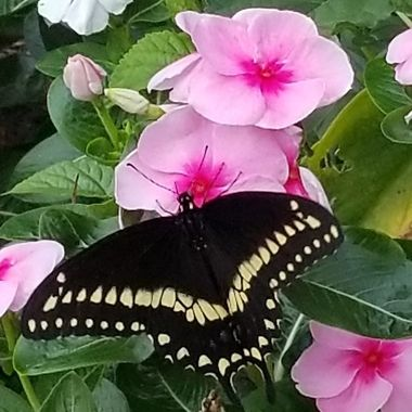 I was standing outside and this  Butterfly came very close to me then it went back and 10A flowerbed came close to me again and went back to the flowerbed.