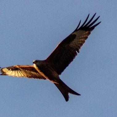 red kite-9841