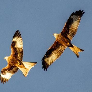 red kite-9858