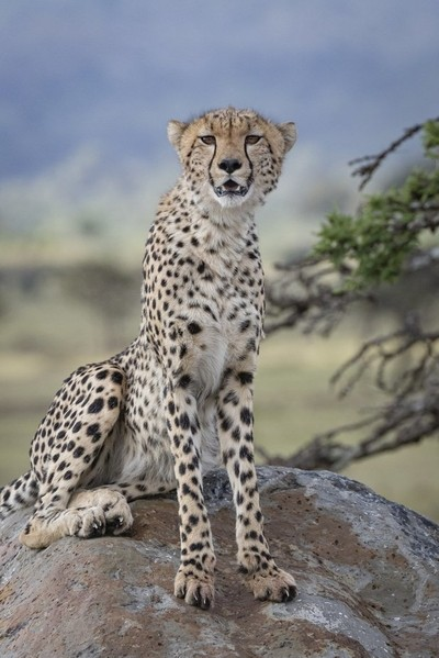Cheetah on the Rock