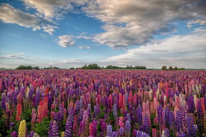 Lupins by Kim_Schou - My Favorite Colors Photo Contest