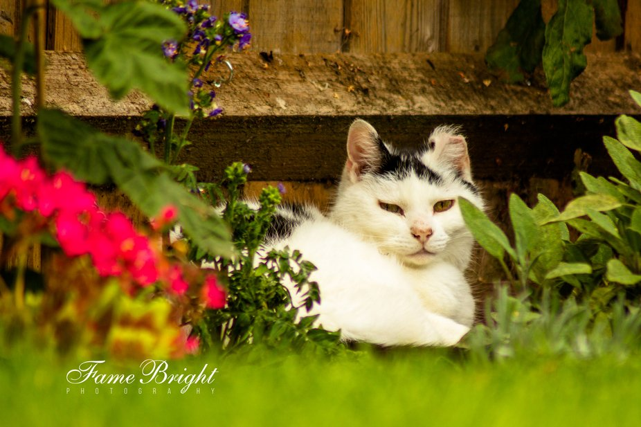 One of our Cats, Shaggy, lying in the flower bed enjoying the summer weather.  His left ear is a ...