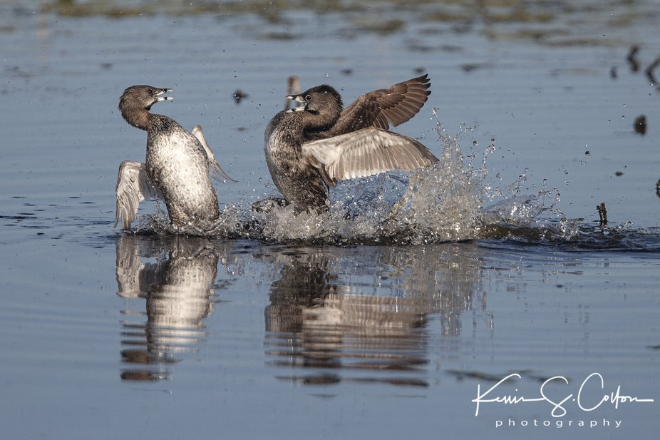 These two Pied-billed grebes were fighting it out at the Montezuma National Wildlife Refuge in Se...