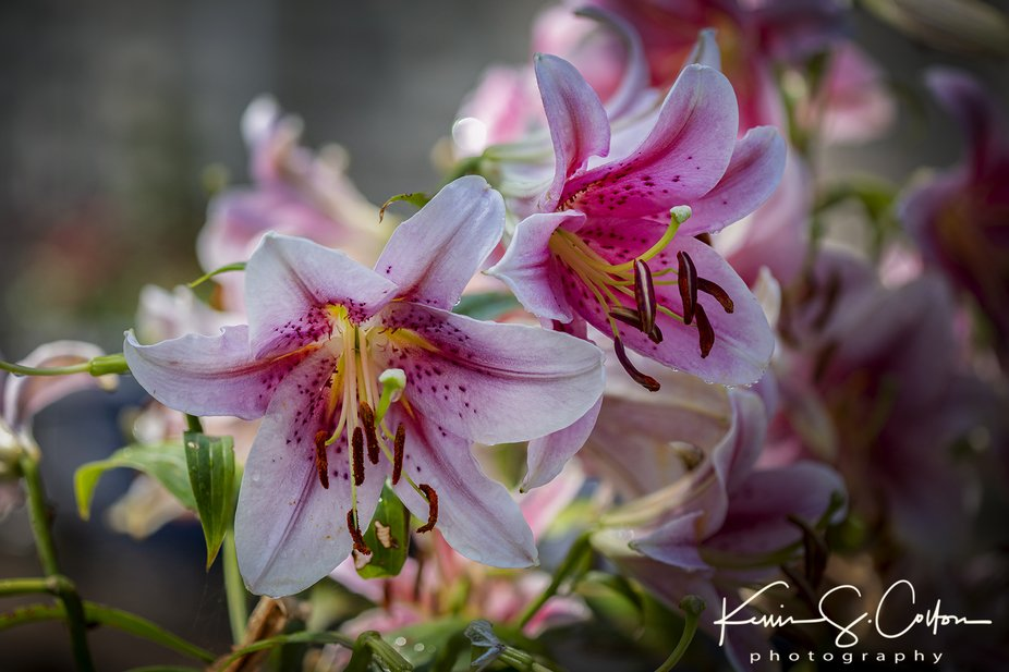 Lilies in the Garden