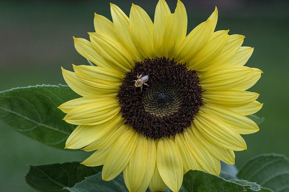 Sunflower_3146