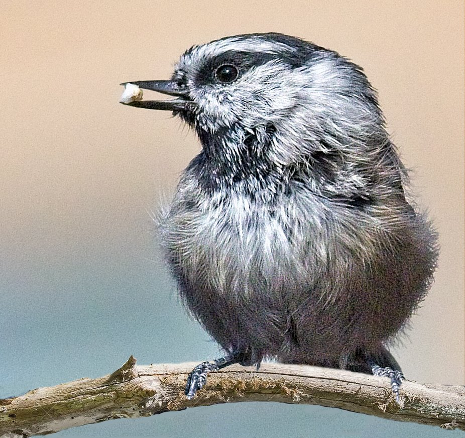 A composite of a Mountain Chickadee with a photo of a tree branch
