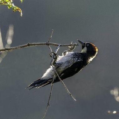 Acorn Woodpecker DSC00540