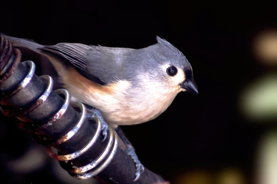 tufted Titmouse having a sip of water from the garden spigot