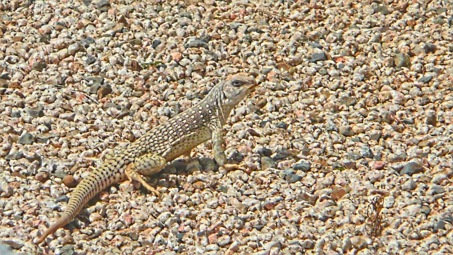 lizard blending into the sand