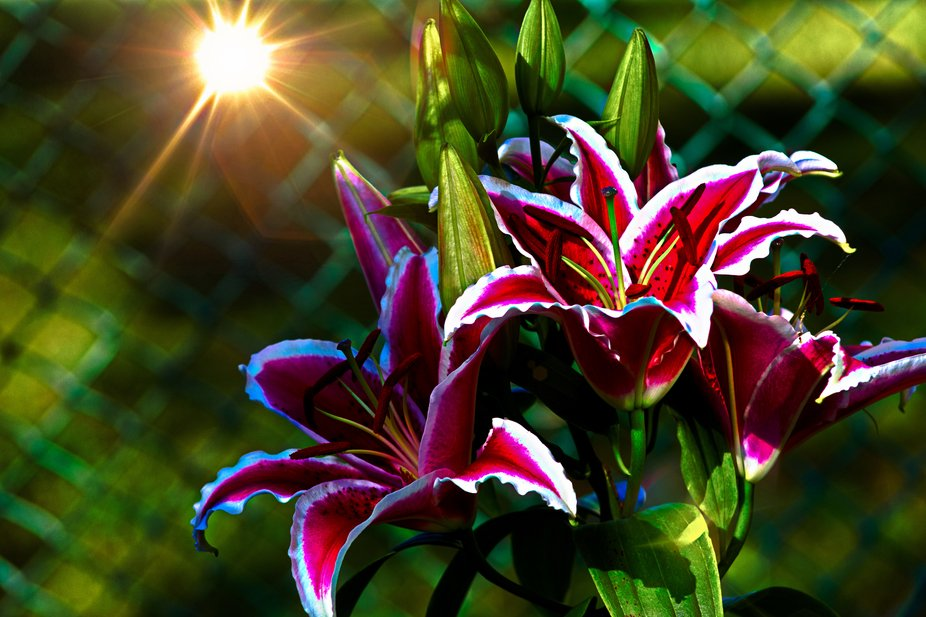 This is a edited picture of the Asian Lily posted early this year.