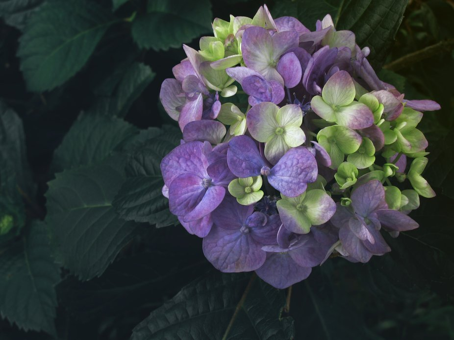 A simple over head shot of a Hydrangea flower in full bloom. The beautiful shades of purple set a...