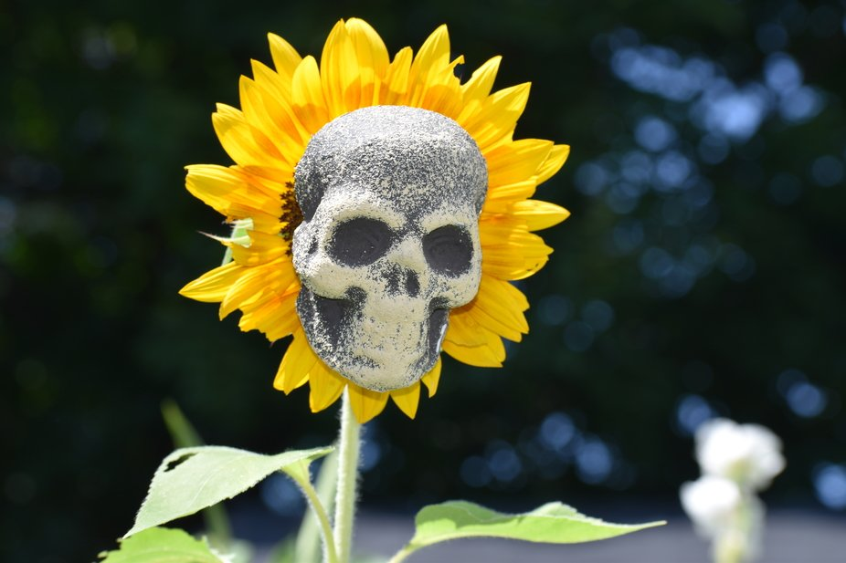 Being inspired of a photo I have seen of a garden full of Sunflowers with skull heads, I thought ...