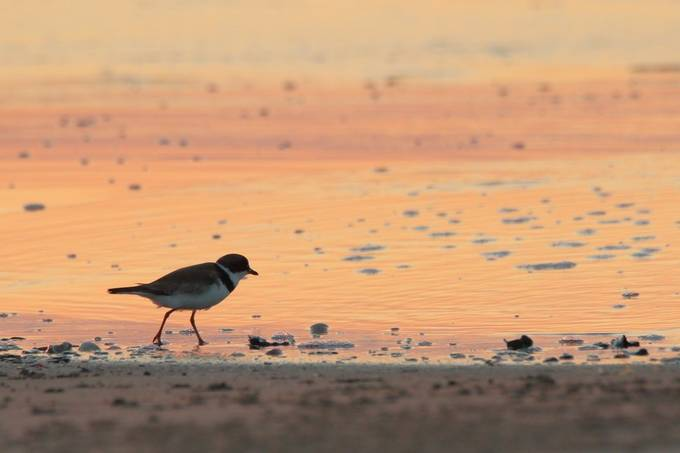 A Semipalmated plover on Elmer Isle beach at the break of dawn.