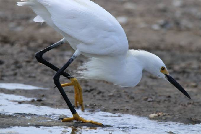 "I like this closeup because you can really appreciate way the Snowy egret is nicknamed ""Golden Slippers."