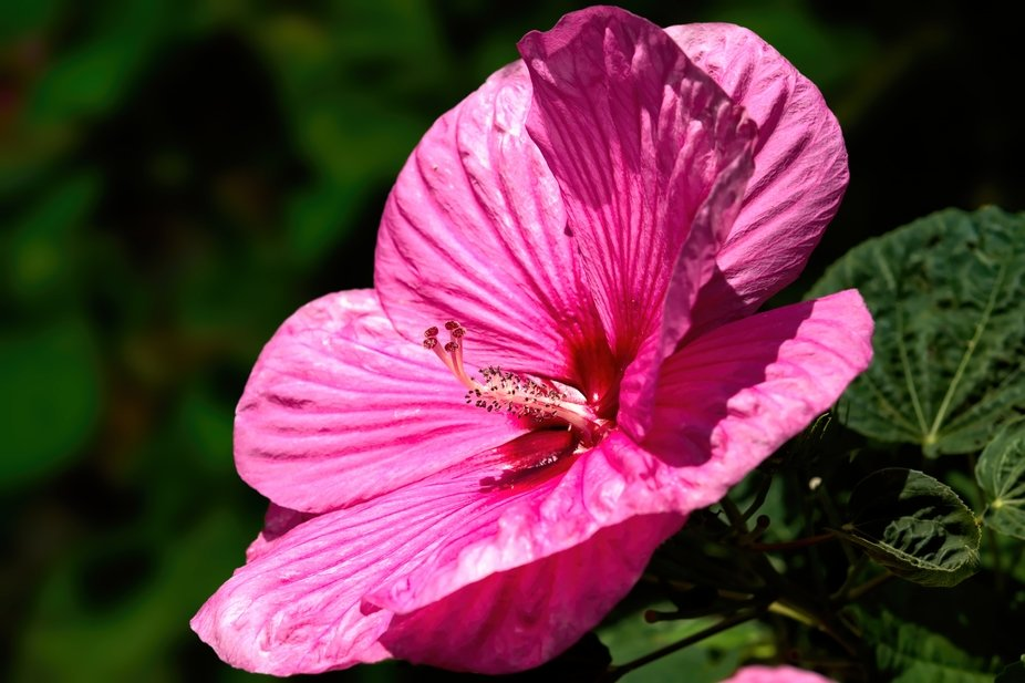 Hibiscus Pink Luna with Waterdrops