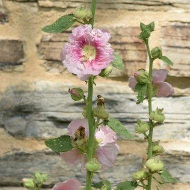 Hollyhocks and old wall