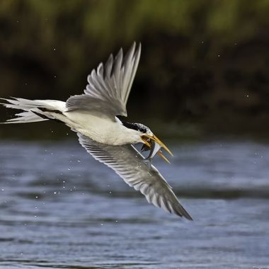 Elegant Tern  with fish DSC00213