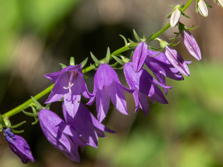 Creeping bell flower