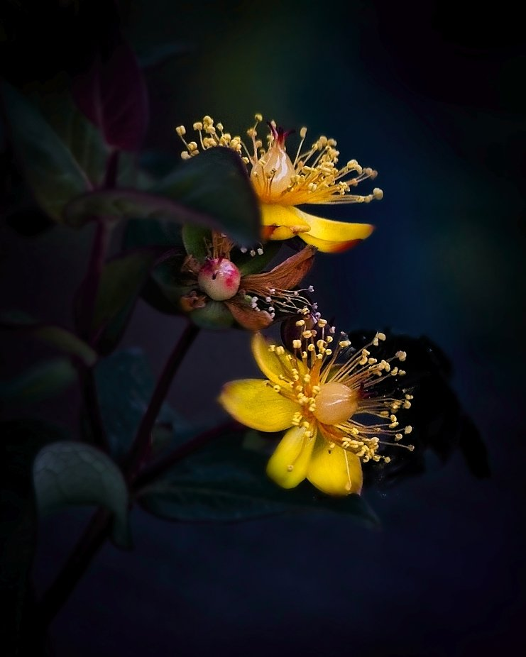 The beautiful colors of the St John's Wort flower...