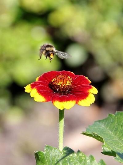 Blanket flower and leaving bee..