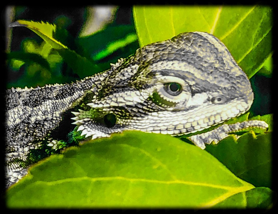 Our new dragon, Poland, who is super quick and stealth like. He is a great model, even w green ey...