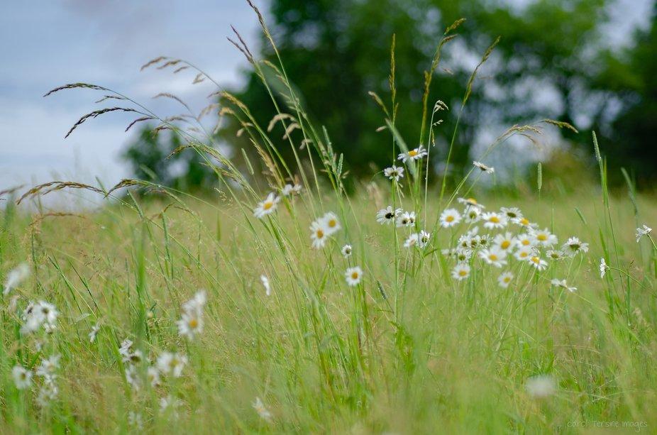 DSC_5443 Wild Daisy Field in Wind