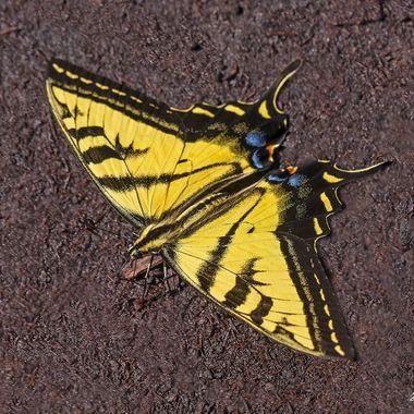Western Tiger Swallowtail Butterfly DSC01798-1