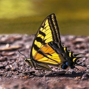 Western Tiger Swallowtail Butterfly DSC01810